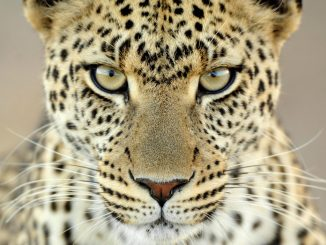 South-africa-leopard-