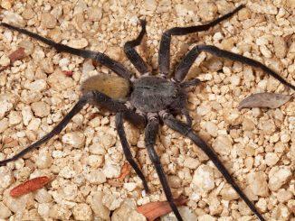 La Califorctenus Cacachilensis