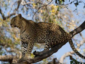 leopard_panthera_pardus