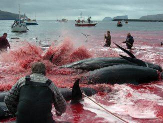 La chasse aux baleines