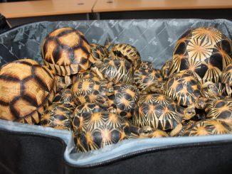 Saisie de tortues d'espèces menacées à Madagascar