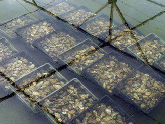 Levée de l'interdiction du ramassage et de la commercialisation des coquillages