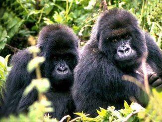 Primates Africains