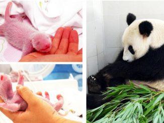 Un panda du haut de ses 23 ans donne naissance à des jumeaux