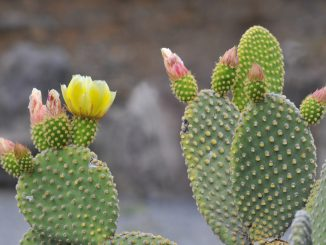 Fleurs du cactus Figuier de Barbarie