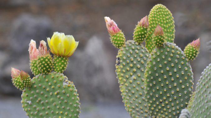 le cactus un aliment d 39 avenir selon l 39 onu le vert. Black Bedroom Furniture Sets. Home Design Ideas
