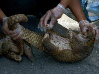 Biodiversité: 101 pangolins vivants saisis sur un bateau en Indonésie