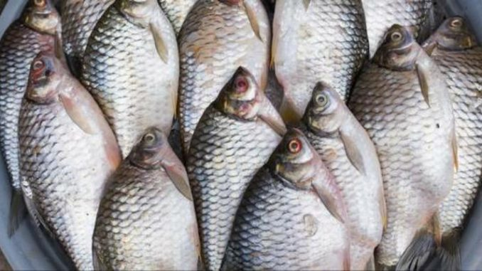 Le virus du tilapia perturbe le marché du poisson au Bénin