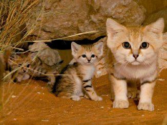 Biodiversité :A la rencontre du Chat des sables au Jardin Zoologique National de Rabat