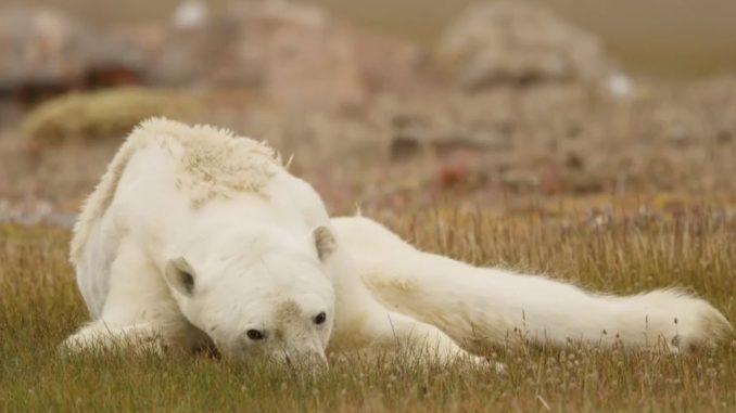National Geographic a publié les images d'un ours polaire en train de mourir de faim. — Capture National Geographic