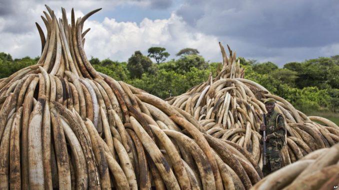 Défenses d'éléphants