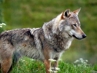 """Biodiversité : La France en pleine """"guerre du loup"""""""