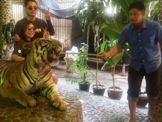 La Thaïlande s'indigne pour un tigre à selfie