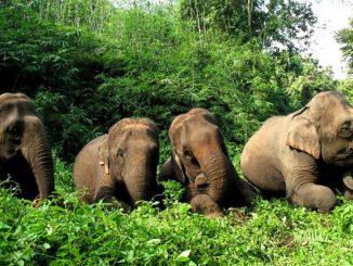 Faune sauvage :Un premier sanctuaire pour les éléphants à Koh Samui en Thaïlande