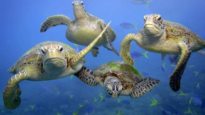 Biodiversité :De plus en plus de tortues femelles en Australie à cause du changement climatique