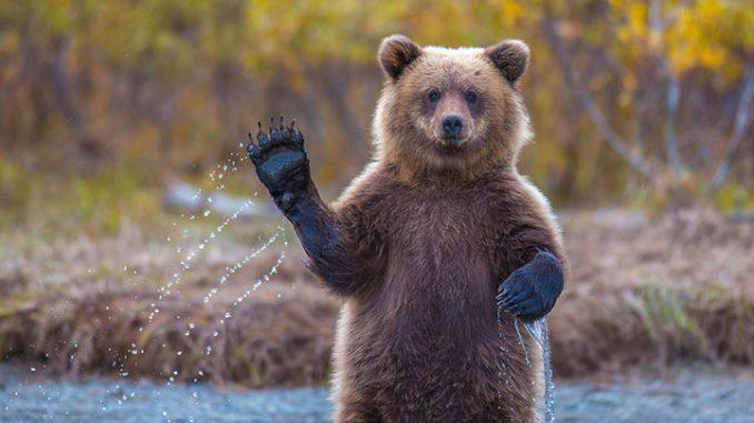 Russie: des contrebandiers arrêtés avec une tonne de pattes d'ours
