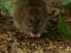 Paris : De plus en plus de rats envahissent la capitale