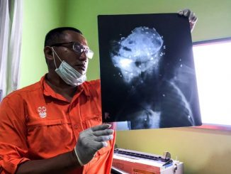 Indonésie: un orang-outan retrouvé mort criblé de balles