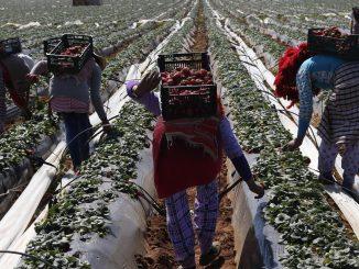 Agriculture : 11.000 ouvrières agricoles marocaines rejoindront l'Espagne en Avril