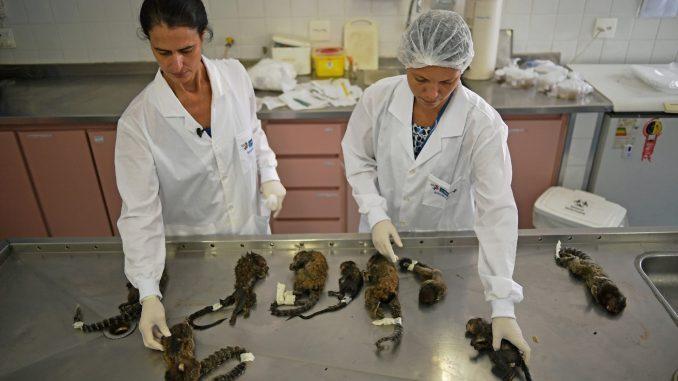 Fièvre jaune: des dizaines de singes massacrés à Rio