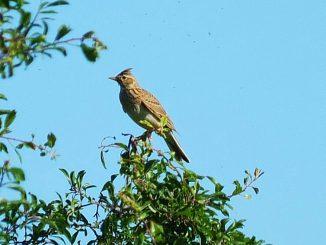 Alouette des champs, fauvette grisette... Les oiseaux des campagnes sont en baisse «vertigineuse» en France