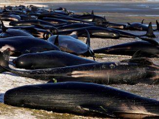 Suicide collectif: 150 baleines ont été découvertes sur les sables des côtes Australiennes