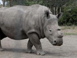 Mort du dernier rhinocéros blanc mâle du Nord !