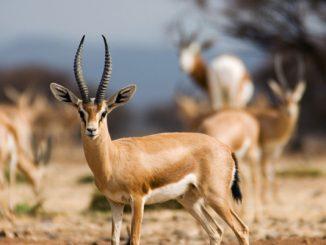 Biodiversité Maroc : Transfert des gazelles dorcas vers différents parcs du Royaume
