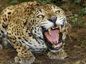Les canines de jaguars un trafic en plein boom en Bolivie