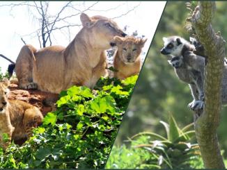 naissance de 4 lionceaux et de 2 lémurs catta