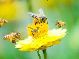 pollinisation des abeilles