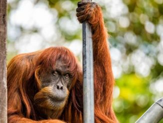 PUAN, l'orang-outang de Sumatra le plus vieux du monde