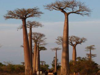 La grande majorité des plus vieux baobabs d'Afrique se meurent