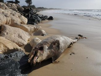 Des dauphins et des phoques échoués sur les plages de Floride