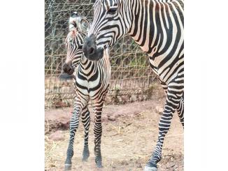 Nouvelle naissance d'un zèbre au au Jardin zoologique de Rabat