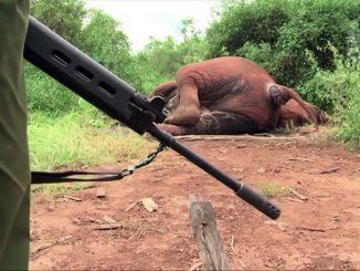 braconnages d'éléphants