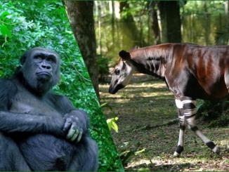 Transfert des okapis et des gorilles