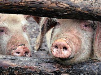 Une épidémie de peste porcine africaine menace de se propager de la Chine vers d'autres pays asiatiques