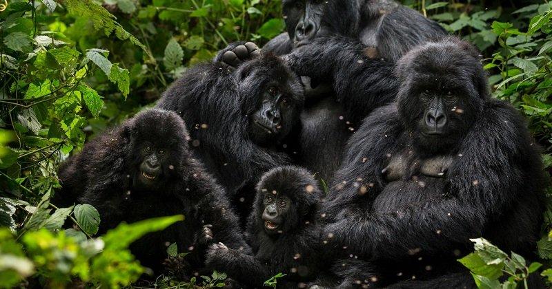 Biodiversité : Les populations de baleines et de gorilles des montagnes augmentent
