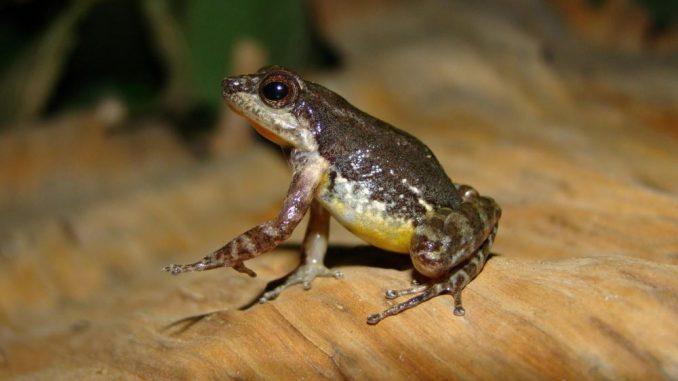 Les chercheurs ont découvert au Venezuela une nouvelle espèce endémique de crapaud miniature.